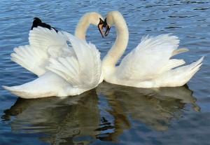 swans_0